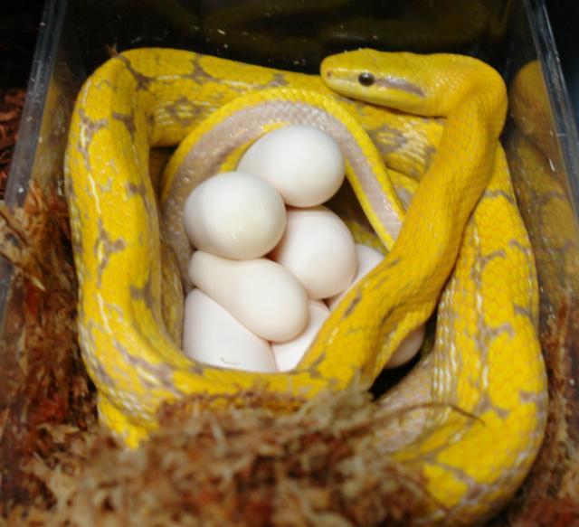 Albino Chinese Beauty Snake On Eggs