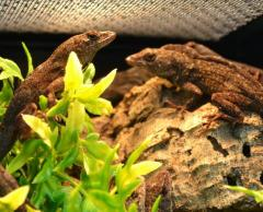 Brown Anoles