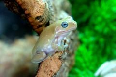 Baby Blue Eyed Australian Whites Tree Frogs