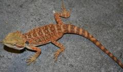 Small Super Red Bearded Dragons