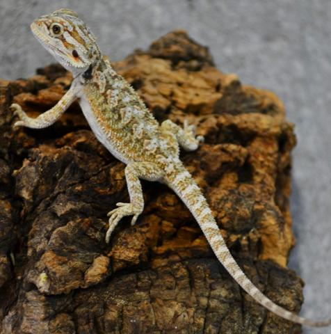 Baby Citrus Bearded Dragons
