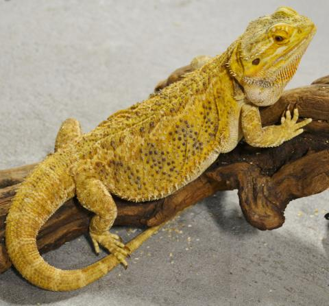 Adult Citrus Bearded Dragons