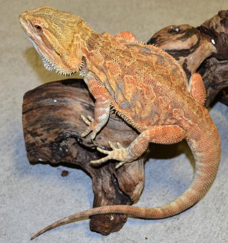 What words..., Adult bearded dragons for sale apologise, but