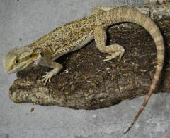 Sub Adult Bearded Dragons