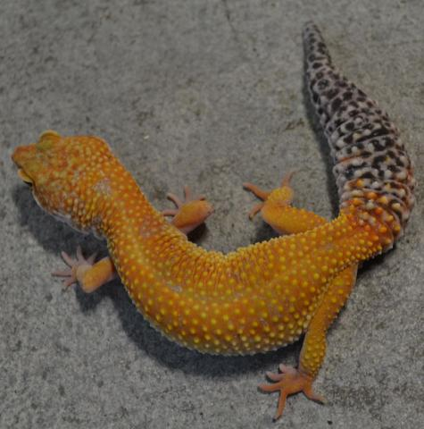 Adult Super Hypo Tangerine Baldy Carrot Tail Leopard ...