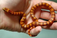 Baby Variable Kingsnakes (thayeri)