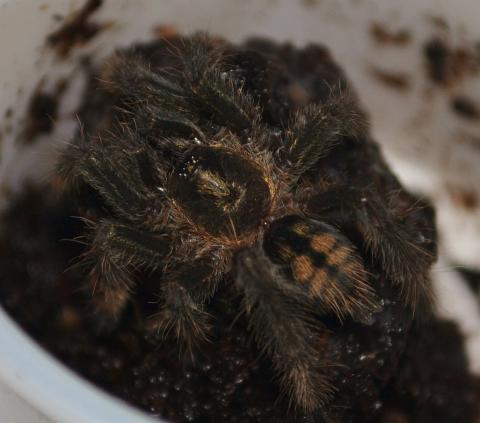 Trinidad Chevron Spiderlings