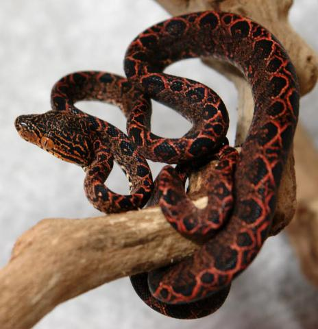 Baby Halloween Amazon Tree Boas For Sale