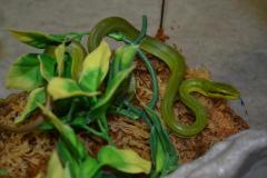 Baby Green Red Tailed Ratsnakes