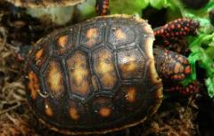 Baby Red Foot Tortoises w/extra scutes
