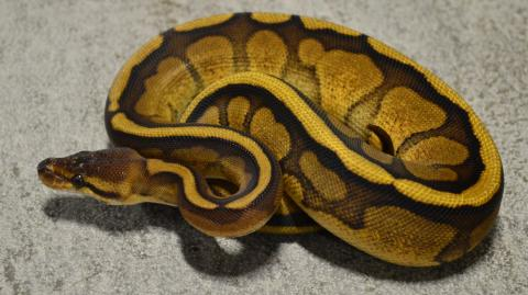 Baby Genetic Stripe Ball Pythons
