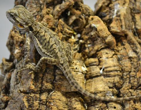 Baby Leatherback Bearded Dragons w/nipped tails
