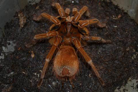 Goliath Bird Eating Tarantulas Medium for sale