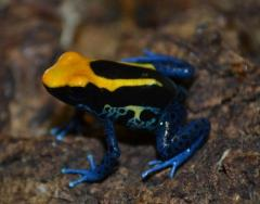 Brazilian Yellow Head Tinc Arrow Frogs