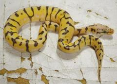 Baby Killer Bee Ball Pythons