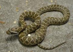 Baby Great Plains Ratsnakes