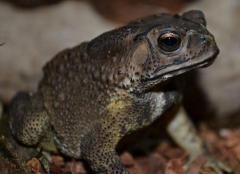 Black-Spectacled Toads