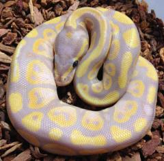 Baby Banana Ball Pythons