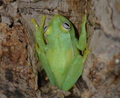 Glass Frogs (H. punctata)