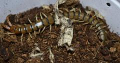 Tanzanian Black Headed Centipedes