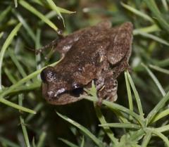 Pine Wood Tree Frogs