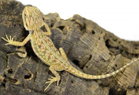 Baby Dunner Red Leatherback Bearded Dragons