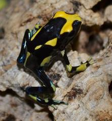 Inferalanis Tinc Arrow Frogs