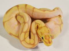 Baby Banana Spider Ball Pythons