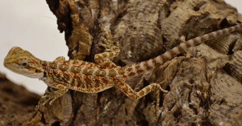 Baby Red Bearded Dragons w/nip tails, toes