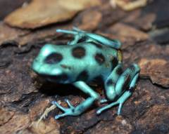 Micro Spot Green & Black Auratus Arrow Frogs
