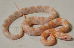 Baby Coral Snow Cornsnakes