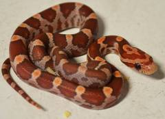 Baby Blood Red Cornsnakes