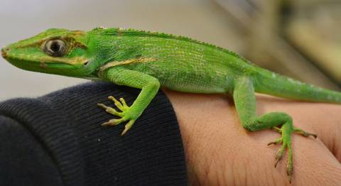 Small Cuban Knight Anoles