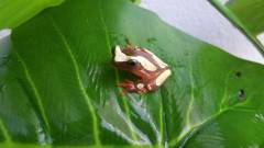 Suriname Clown Tree Frogs