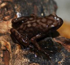 Campaña Kahlua and Cream Auratus Arrow Frogs