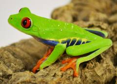 Adult Red Eyed Tree Frogs