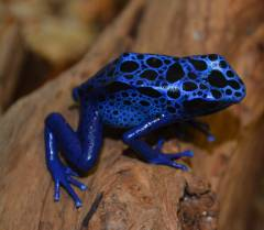 Adult Blue Azureus Arrow Frogs