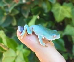 Baby Giant Bicolor Tree Frogs