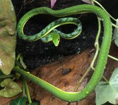 Asian Green Vine Snakes