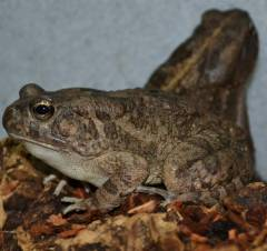 African Common Toads