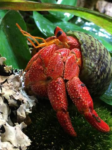 Strawberry Hermit Crabs For Sale
