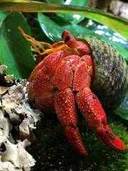 Strawberry Hermit Crabs