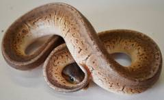 Baby Pewter Blast Ball Pythons