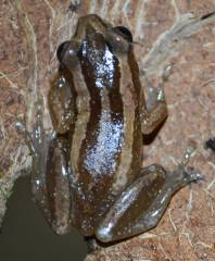 Banana Reed Frogs