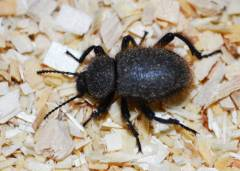Wooly Darkling Beetles