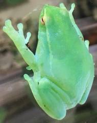 Orinoco Lime Green Glass Frogs