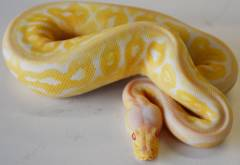 Baby Albino Pewter Ball Pythons