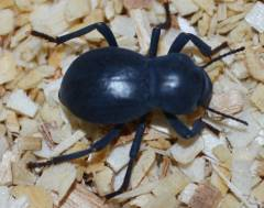 Smooth Black Death Feigning Beetles