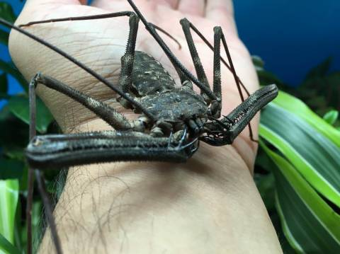 West African Tailless Whipspiders