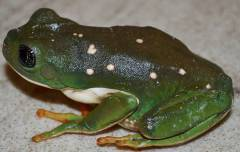 Mexican Leaf Frogs